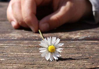 Hand, die ein Gänseblümchen hält