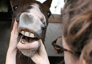Mensch schaut Pferd in das Maul